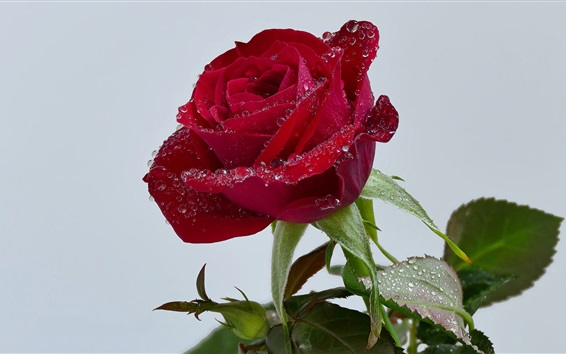 Fondos de pantalla Fresca rosa roja, gotas de agua