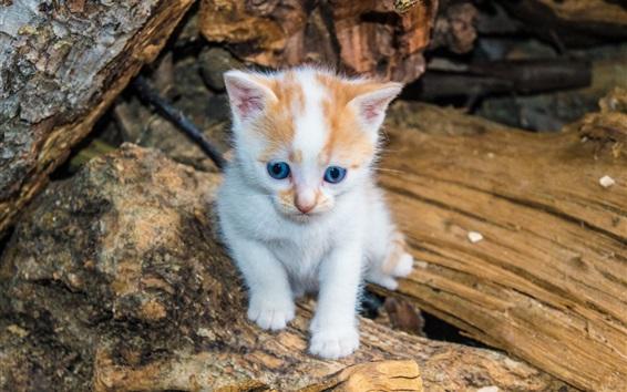 Wallpaper Furry kitten, blue eyes