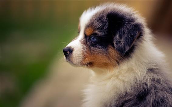 Wallpaper Furry shepherd dog side view, puppy