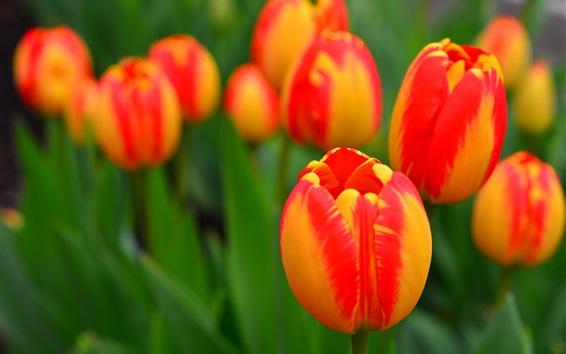 Fond d'écran Fleurs de jardin, tulipes orange