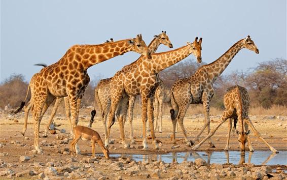 Обои Жирафы, пить воду