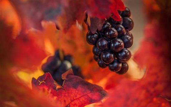 Обои Виноград, красные листья, осень