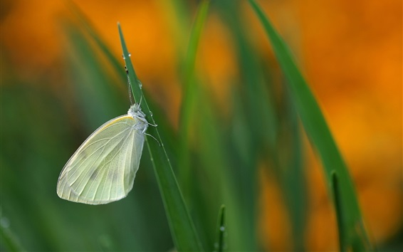 Fondos de pantalla Hierba, pequeña mariposa
