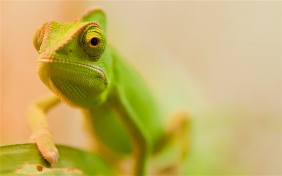Papéis de Parede Lagarto verde face close-up, bokeh