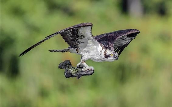 Обои Ястреб поймал рыбный полет