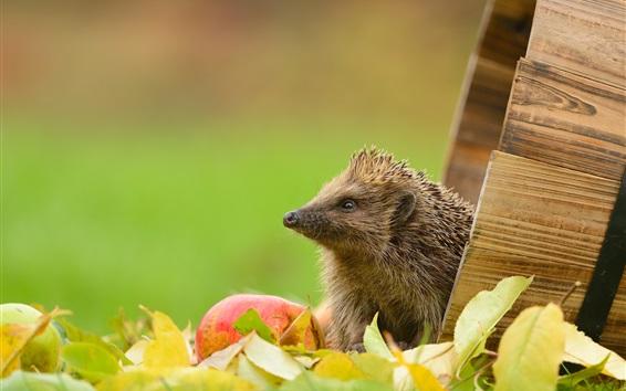 Fond d'écran Hérisson, feuilles, pomme, baril