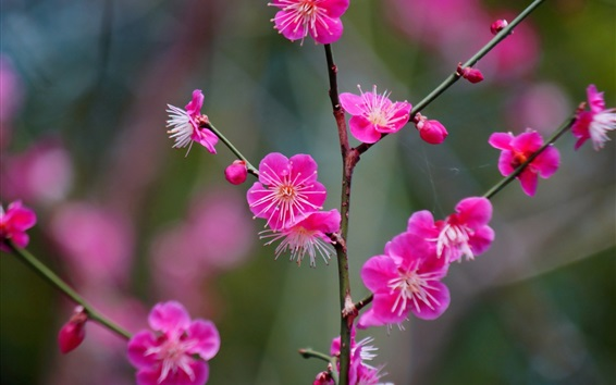 Wallpaper Japanese Apricot pink flowers