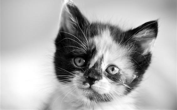 Papéis de Parede Kitten face close-up, branco e preto