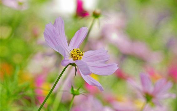 Fond d'écran Fleur de kosmeya rose clair, arrière plan flou