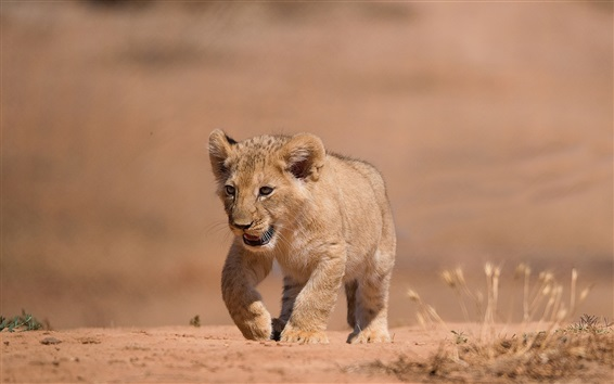 壁紙 ライオンの子猫の散歩