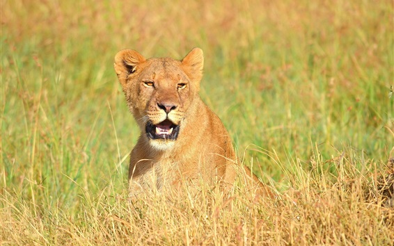 Wallpaper Lioness open mouth