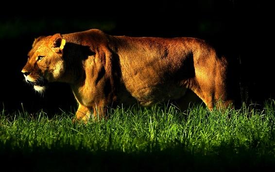 Papéis de Parede Leoa anda na grama, noite, luzes