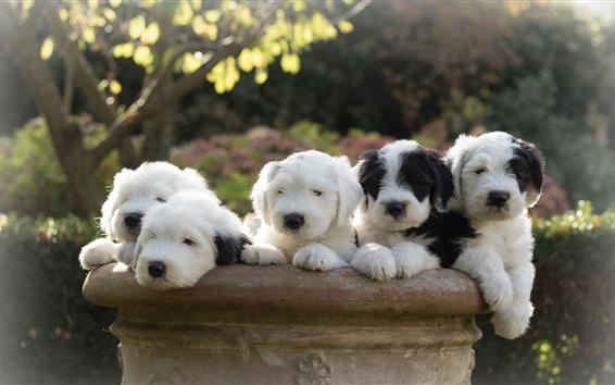 Wallpaper Lovely sheepdogs