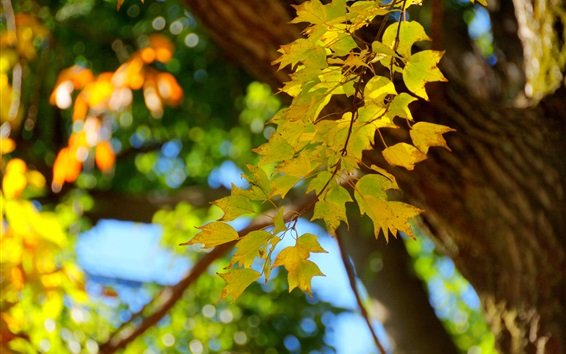 Wallpaper Maple leaves, twigs, trees, blurry background