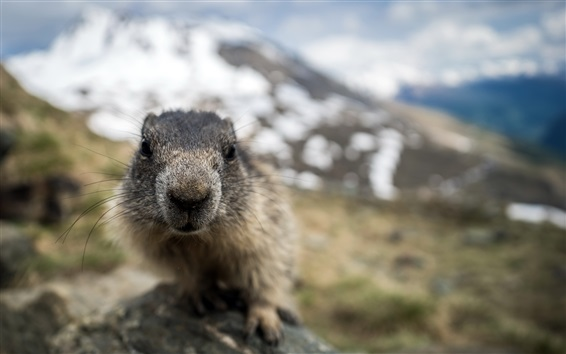 Fond d'écran Marmot face close-up