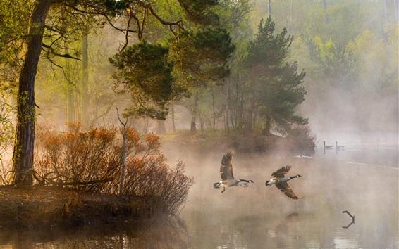 Papéis de Parede Manhã, floresta, árvores, patos, lago, neblina