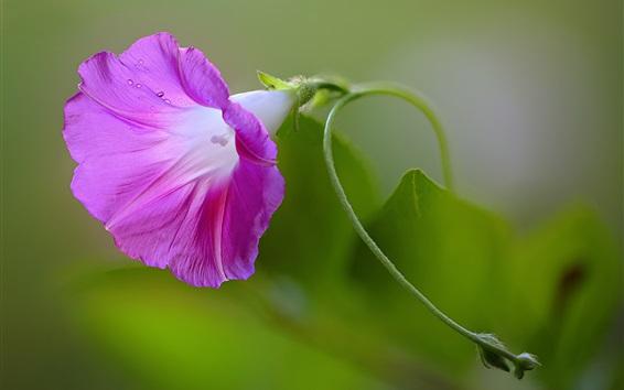 Fond d'écran Glisse du matin, fleur pourpre