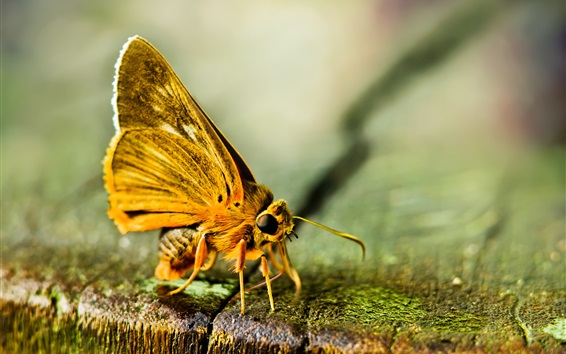 Wallpaper Moth, yellow butterfly macro photography