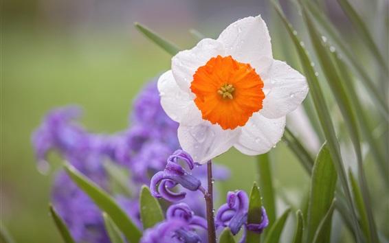 Papéis de Parede Narciso e jacinto, flores, gotas de água