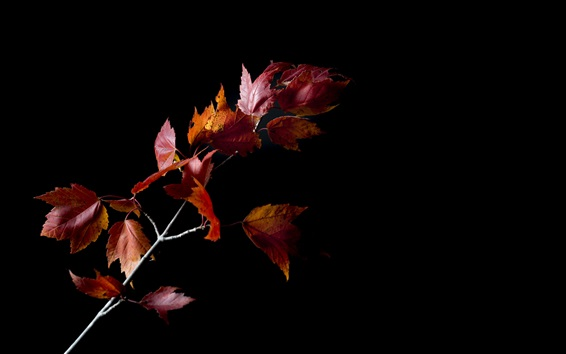 Wallpaper Night, twigs, red maple leaves, black background