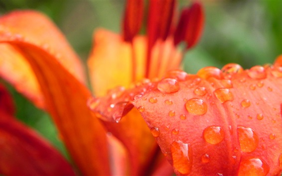 Wallpaper Orange lily petals macro photography, water drops