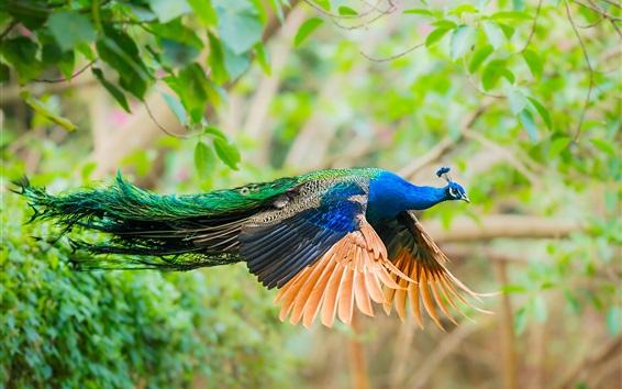 Papéis de Parede Voo Peacock