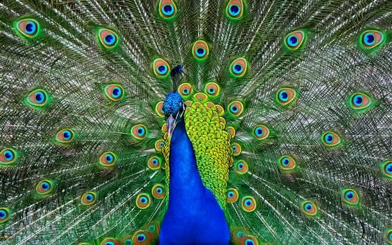 Обои Павлиний хвост шоу, красивые перья