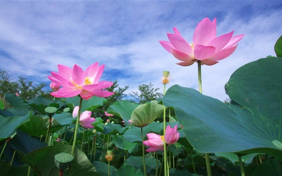 Wallpaper Pink lotus, flowers, foliage