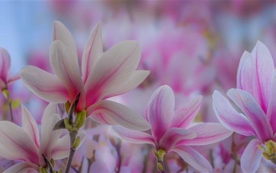 Papéis de Parede Flores de magnólia rosa, primavera