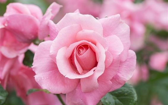 Wallpaper Pink rose macro photography, water drops
