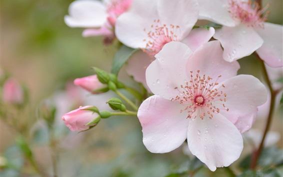 Обои Розовые розы, капли воды