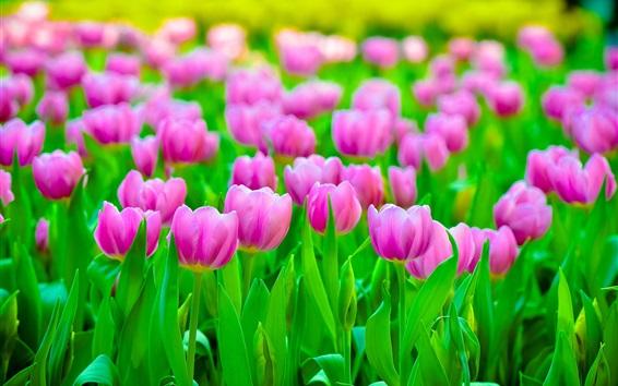 Fondos de pantalla Campo de tulipanes rosados, hojas verdes
