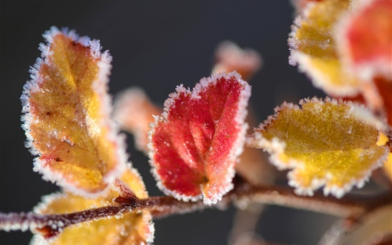 Wallpaper Red and yellow leaves macro photography, frost, autumn