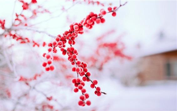 Обои Красные ягоды зимой, ветви, морозы
