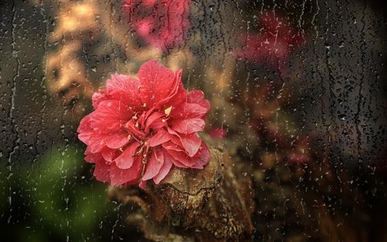 Papéis de Parede Flor vermelha, chuva