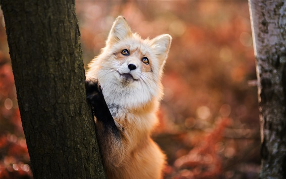 Wallpaper Red fox want to climb tree