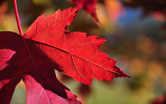 Обои Красный кленовый лист, солнечный свет, осень