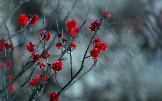 Wallpaper Red plum flowers, twigs, blurry background