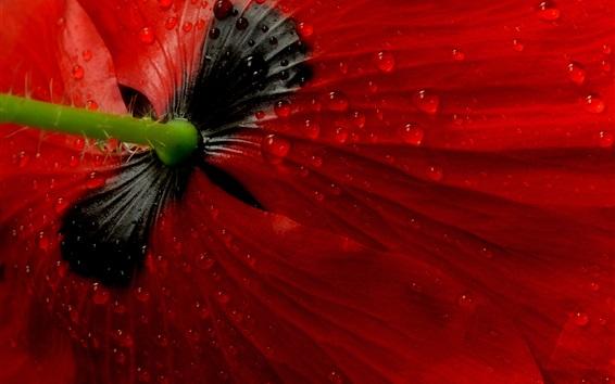 Wallpaper Red poppy flower back view, dew