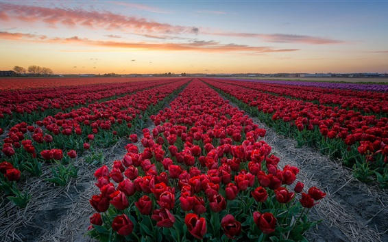 Papéis de Parede Tulipas vermelhas, campo de flores, crepúsculo