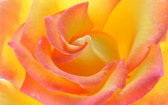 Papéis de Parede Fotografia de macro de pétalas de rosa, rosa e laranja