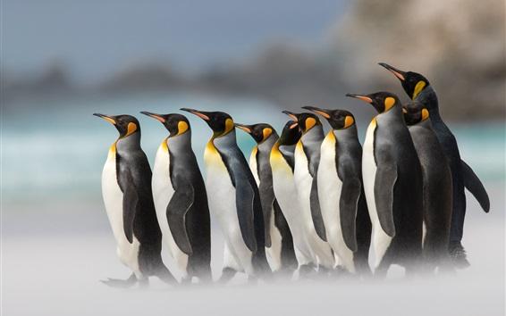 Fond d'écran Pingouins royaux, brouillard
