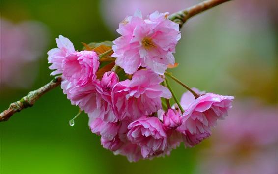 Wallpaper Sakura close-up, pink flowers, twigs