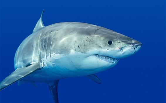 Wallpaper Shark, predator, underwater