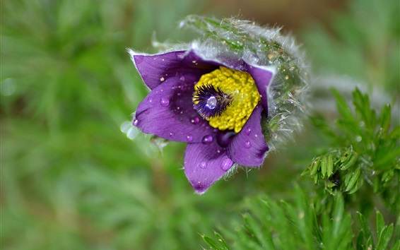 Wallpaper Sleep Grass, purple flower, dew