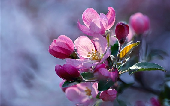 배경 화면 봄, 핑크 사과 꽃 피어싱