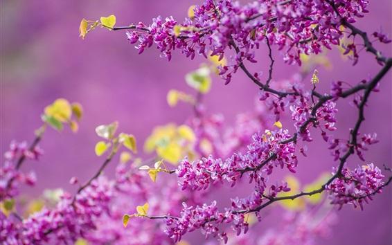Wallpaper Spring, tree flowers, flowering, purple, twigs