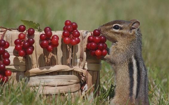 배경 화면 다람쥐와 붉은 열매