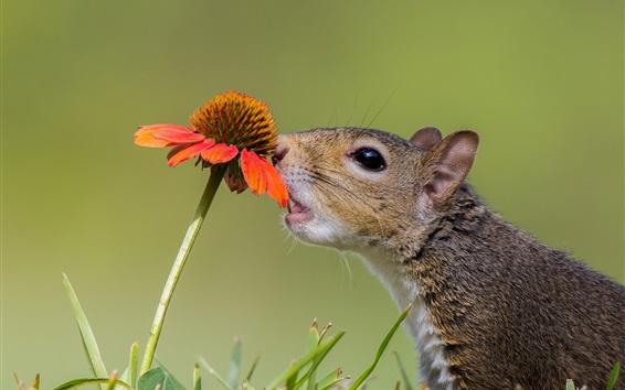 배경 화면 다람쥐, 호기심, 꽃