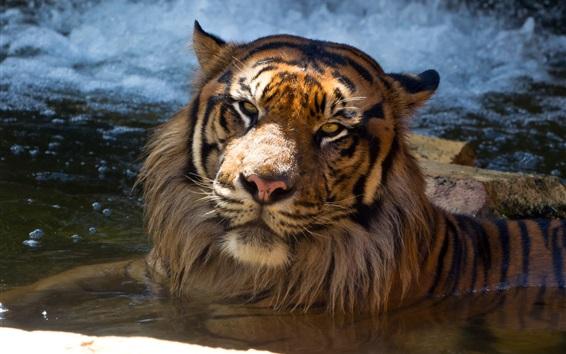 Обои Суматранский тигр, купающийся в пруду